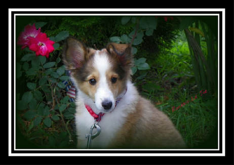 Ronda's Shelties - Home
